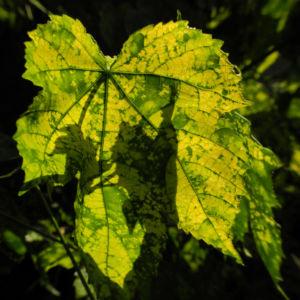 Thompson Schoenmalve Blatt gruen gelb Abutilon pictum Thompsonii 11