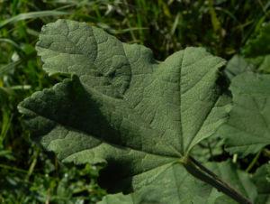 Thueringer Strauchpappel Blatt gruen Lavatera thuringiaca 04