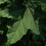 Thueringer Strauchpappel Blatt gruen Lavatera thuringiaca 05