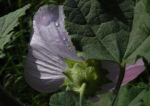 Thueringer Strauchpappel Bluete hellrosa Lavatera thuringiaca 04