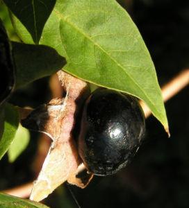 Tollkirsche Frucht schwarz Atropa bella donna 01
