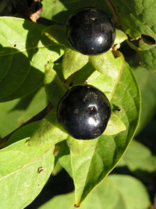 Bild: Tollkirsche Frucht schwarz Atropa bella donna