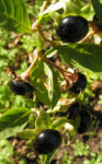 Tollkirsche Frucht schwarz Atropa bella donna 04