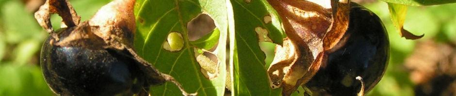 tollkirsche-frucht-schwarz-atropa-bella-donna