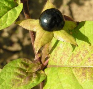 Tollkirsche Frucht schwarz Atropa belladonna 02