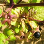 Tollkirsche Frucht schwarz Atropa belladonna 03