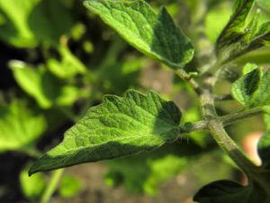 Tomate Blatt gruen Solanum lycopersicum 02