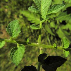 Tomate Blatt gruen Solanum lycopersicum 06
