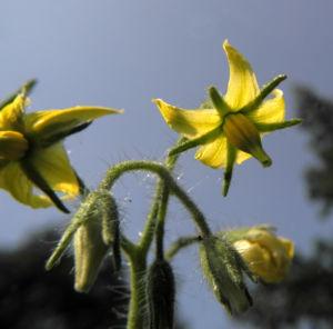 Tomate Bluete gelb Solanum lycopersicum 33
