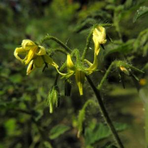Tomate Bluete gelb Solanum lycopersicum 36