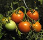 Bild: Tomate Blatt grün Blüte gelb Solanum lycopersicum
