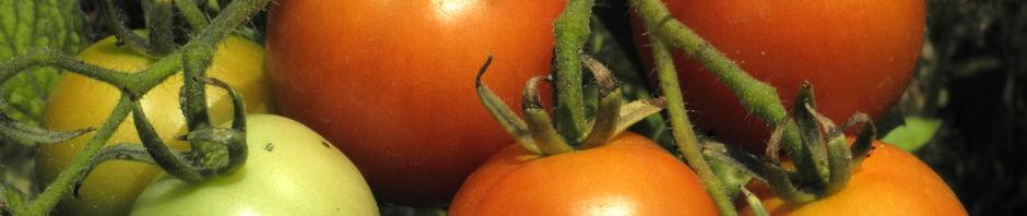 tomate-blatt-gruen-bluete-gelb-solanum-lycopersicum