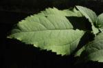 Topinambur Blatt gruen Helianthus tuberosus 02