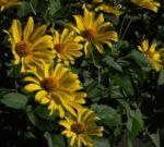 Topinambur Bluete gelb Helianthus tuberosus 02