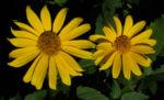 Bild: Topinambur Blüte gelb Blatt grün Helianthus tuberosus