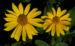 Zurück zum kompletten Bilderset Topinambur Blüte gelb Blatt grün Helianthus tuberosus