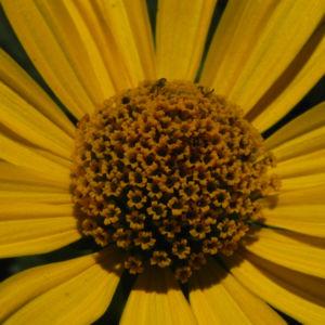 Topinambur Bluete gelb Helianthus tuberosus 07