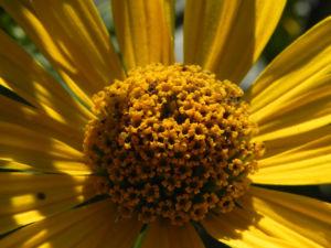 Topinambur Bluete gelb Helianthus tuberosus 11