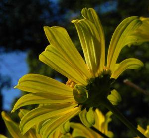 Topinambur Bluete gelb Helianthus tuberosus 12