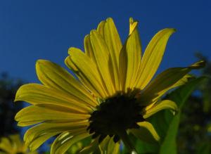 Topinambur Bluete gelb Helianthus tuberosus 13
