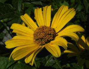 Topinambur Bluete gelb Helianthus tuberosus 15