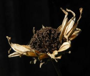 Topinambur verblueht braun Helianthus tuberosus 09