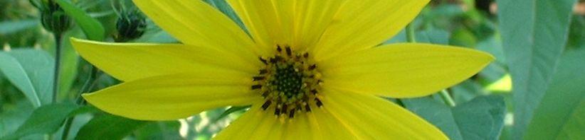Anklicken um das ganze Bild zu sehen Topinambur Blüte gelb Helianthus tuberosus