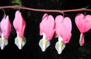 Traenendes Herz Bluete pink weiss Lamprocapnos spectabilis 06