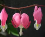 Traenendes Herz Bluete pink weiss Lamprocapnos spectabilis 09