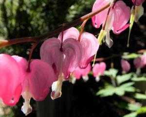 Traenendes Herz Bluete pink weiss Lamprocapnos spectabilis 11
