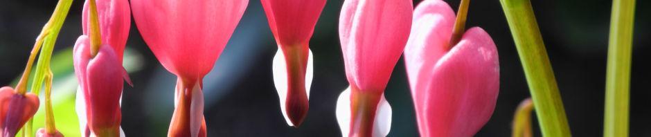 traenendes-herz-bluete-pink-lamprocapnos-spectabilis