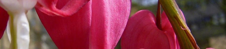 Anklicken um das ganze Bild zu sehen Tränendes Herz Blüte pink Lamprocapnos spectabilis