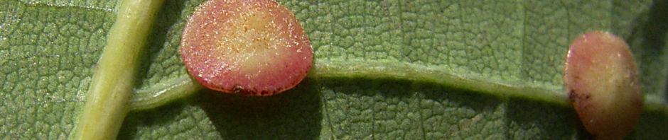 traubeneiche-eichel-gruen-quercus-petraea