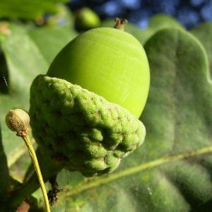 Trauben Eiche Eichel Quercus petraea 04