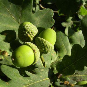 Trauben Eiche Eichel Quercus petraea 05