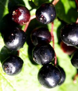 Trauben Holunder Strauch Beeren schwarz Sambucus racemosa 06