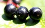 Trauben Holunder Strauch Beeren schwarz Sambucus racemosa 13