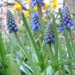 Bild: Armenische Traubenhyazinthe Blüte blau Muscari armeniacum