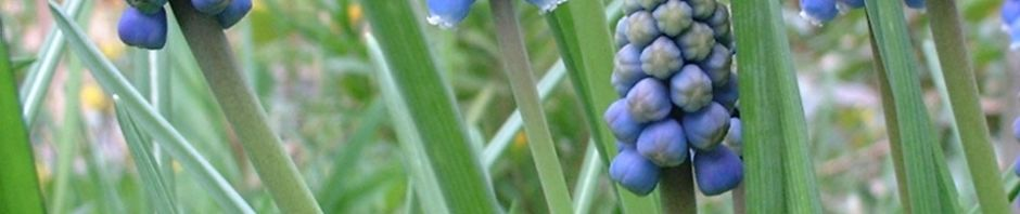 armenische-traubenhyazinthe-bluete-blau-muscari-armeniacum
