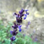 Trauben Katzenminze Bluete blau Nepeta mussinii 01