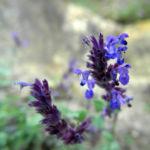 Trauben Katzenminze Bluete blau Nepeta mussinii 02