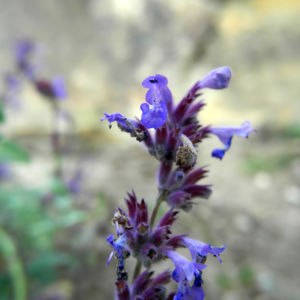 Trauben Katzenminze Bluete blau Nepeta mussinii 03