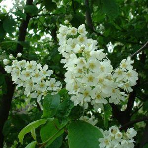 Trauben Kirsche Prunus padus 02