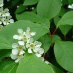 Trauben Kirsche Prunus padus 03
