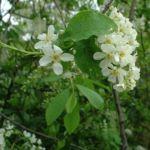 Trauben Kirsche Prunus padus 04
