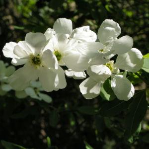 Trauben Prunkspiere Bluete weiss Exochorda racemosa 02