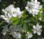 Trauben Prunkspiere Bluete weiss Exochorda racemosa 04