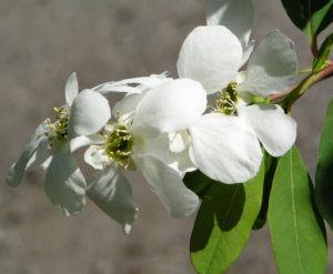 Image: Trauben Prunkspiere Bluete weiss Exochorda racemosa