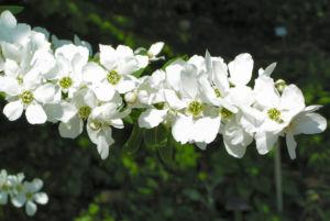 Trauben Prunkspiere Bluete weiss Exochorda racemosa 06