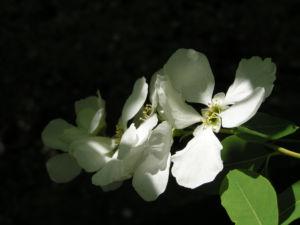 Trauben Prunkspiere Bluete weiss Exochorda racemosa 09
